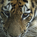 Tiger You Looking At Me by Thomas Woolworth
