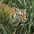 Tiger4 by Marty Maynard