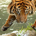 Tiger's Stealth by Bob and Jan Shriner