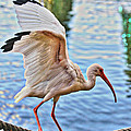 Tightrope Walking Ibis by Alice Gipson