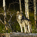 Timber Ghost Wolf by Wildlife Fine Art