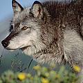 Timber Wolf Adult Portrait North America by Tim Fitzharris