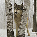 Timber Wolf Canis Lupus by Carol Gregory