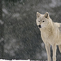 Timber Wolf Female North America by Gerry Ellis