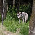 Timber Wolf In Forest by Wolves Only