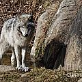 Timber Wolf In Pond by Wolves Only