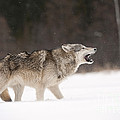 Timber Wolf by John Shaw