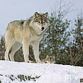 Timber Wolf by Les Palenik