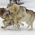 Timber Wolf  Pair Montana by Matthias Breiter