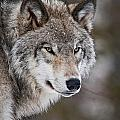Timber Wolf Pictures 1067 by World Wildlife Photography