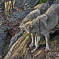 Timber Wolf Pictures 1094 by World Wildlife Photography