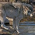 Timber Wolf Pictures 1101 by World Wildlife Photography