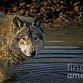 Timber Wolf Pictures 1103 by World Wildlife Photography