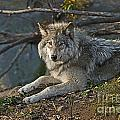 Timber Wolf Pictures 1148 by World Wildlife Photography