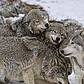 Timber Wolf Pictures 120 by World Wildlife Photography