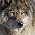 Timber Wolf Pictures 1218 by World Wildlife Photography