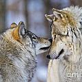 Timber Wolf Pictures 1230 by World Wildlife Photography