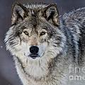 Timber Wolf Pictures 1271 by World Wildlife Photography