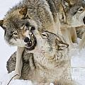 Timber Wolf Pictures 1314 by World Wildlife Photography