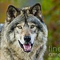 Timber Wolf Pictures 1388 by World Wildlife Photography