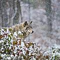 Timber Wolf Pictures 1395 by World Wildlife Photography