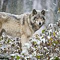 Timber Wolf Pictures 1397 by World Wildlife Photography