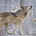 Timber Wolf Pictures 1401 by World Wildlife Photography