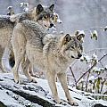 Timber Wolf Pictures 1417 by World Wildlife Photography