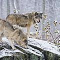 Timber Wolf Pictures 1420 by World Wildlife Photography