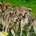 Timber Wolf Pictures 1593 by World Wildlife Photography