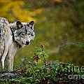 Timber Wolf Pictures 1627 by World Wildlife Photography