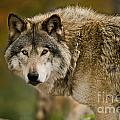 Timber Wolf Pictures 1629 by World Wildlife Photography