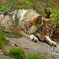 Timber Wolf Pictures 1646 by World Wildlife Photography