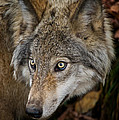 Timber Wolf Pictures 1660 by World Wildlife Photography