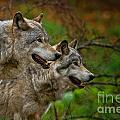 Timber Wolf Pictures 1710 by World Wildlife Photography