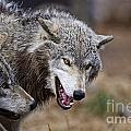 Timber Wolf Pictures 173 by World Wildlife Photography