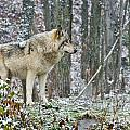 Timber Wolf Pictures 185 by Wolves Only