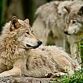 Timber Wolf Pictures 192 by Wolves Only