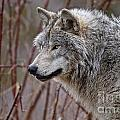 Timber Wolf Pictures 197 by World Wildlife Photography