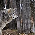 Timber Wolf Pictures 203 by World Wildlife Photography