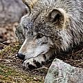 Timber Wolf Pictures 205 by World Wildlife Photography