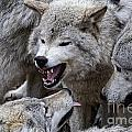 Timber Wolf Pictures 210 by World Wildlife Photography