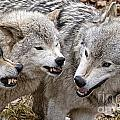 Timber Wolf Pictures 213 by World Wildlife Photography