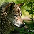 Timber Wolf Pictures 263 by Wolves Only