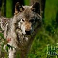 Timber Wolf Pictures 266 by Wolves Only