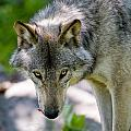 Timber Wolf Pictures 294 by World Wildlife Photography