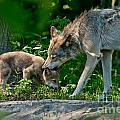 Timber Wolf Pictures 332 by Wolves Only