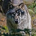 Timber Wolf Pictures 405 by World Wildlife Photography