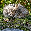 Timber Wolf Pictures 42 by World Wildlife Photography