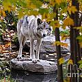 Timber Wolf Pictures 444 by World Wildlife Photography